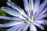 IMG_8408-Chicory.jpg