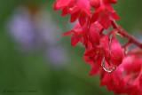 IMG_8469-Coral_Bells.jpg