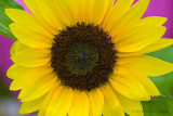 IMG_2327_sunflower.jpg
