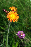 IMG_2391-Orange_Hawkweed_Field_Milkwort.jpg