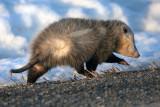 _MG_6020-Opossum.jpg