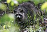 Raccoon - IMG_5424.jpg