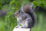_MG_7290-Gray_Squirrel.jpg