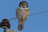 Northern Hawk Owl Banding