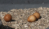 Peregrine Eggs