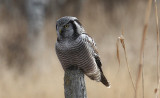 Northern Hawk Owl...first for the season