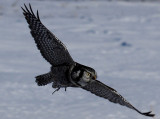 Hawk Owl...hunting