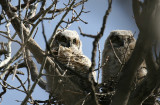 Great Horned Owls 2010