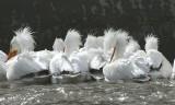 Pelicans... Herons...Cormorants