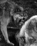 Feeding Time For The Wolves!!!  WARNING Somewhat GRAPHIC!!