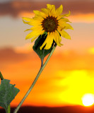 Sunflowers - Petaling Their Where's
