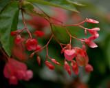 Angel Wing Begonia - Helen  Walter.jpg