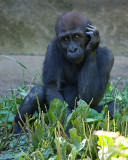 Juvenile Gorilla IMGP8981.jpg