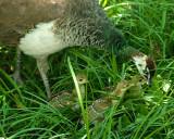 Peacock chicks IMGP8964.jpg
