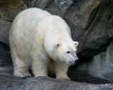 Polar Bear IMGP9029.jpg