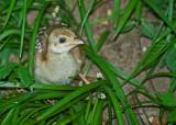 Peacock chick IMGP8963.jpg