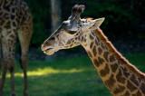 Giraffe IMGP8932.jpg
