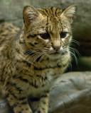 Geoffroy's Cat IMGP2299.jpg