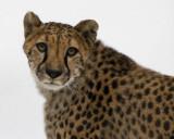 Cheetah IMGP2234.jpg