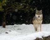Mexican Wolf IMGP2758.jpg