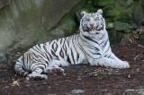 White Tiger IMGP2867.jpg