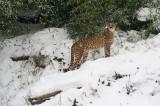 Cheetah IMGP2641.jpg