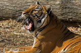 Malayan Tiger IMGP3036.jpg