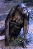 Bonobos IMGP4470a.jpg