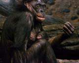 Bonobos IMGP4405a.jpg