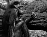 Bonobos IMGP4407 BWa.jpg
