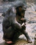 Bonobos IMGP4422a.jpg