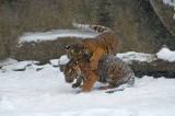 Tiger Cubs IMGP4534.jpg