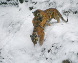 Tiger Cubs IMGP4544.jpg