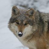 Mexican Wolf IMGP4405.jpg