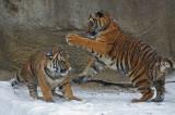 Tiger Cubs IMGP4447.jpg