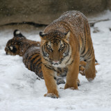 Tiger Cub IMGP4465.jpg