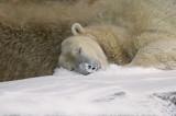 Polar Bear IMGP4420.jpg