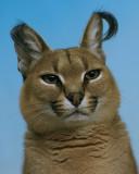 Caracal Cat IMGP4542.jpg