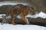 Tiger Cub Stalking IMGP4477.jpg