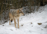 Mexican Wolf IMGP4386.jpg