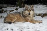Mexican Wolf IMGP4389.jpg