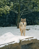 Mexican Wolf IMGP4367.jpg