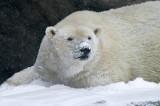 Polar Bear IMGP4423.jpg