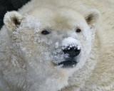 Polar Bear Cropped IMGP4423.jpg