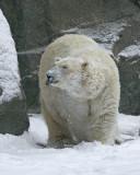 Polar Bear IMGP4443.jpg