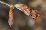 Aesculus pavia spring buds IMGP4622.jpg