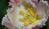 Tulip from Helen IMGP4743.jpg