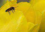 Milkweed Bug IMGP4794.jpg