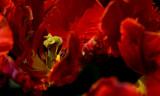 Red Tulips Wegerzyn IMGP4792.jpg