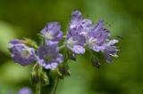 Wildflower IMGP5015.jpg